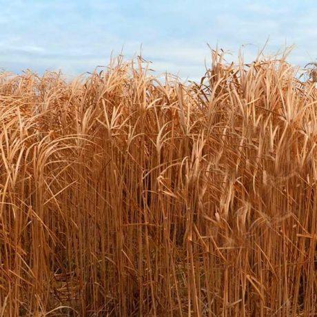 Burlyburn - Grass